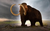 Artist's illustration of a woolly mammoth. Evidence suggests that in their final days, mammoths suffered from a variety of genetic defects that may have hindered their development, reproduction and ability to smell.t of their kind anywhere on Earth.