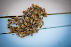 As humans practice social distancing, honeybees will survive the winter in part by crowding together to help stay warm.