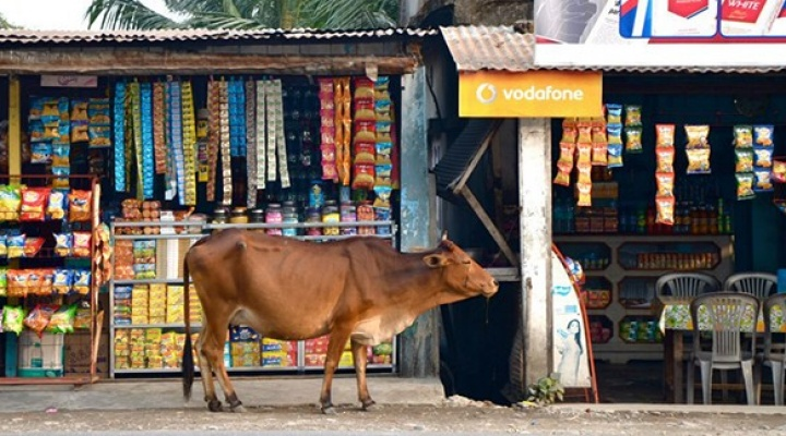 Cow walking in marketplace in India.