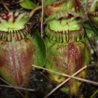 Cephalotus follicularis, the Australian pitcher plant. Photographed here in its native range in Western Australia, this carnivorous plant evolved to digest insects through a strikingly similar evolutionary pathway as other plants that developed the same capability independently, a new study finds.