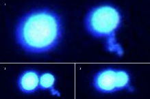 A series of images showing protein droplets that refuse to merge.