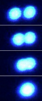 A series of images showing protein droplets readily merging.